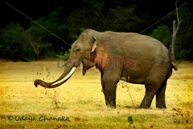 Tusker in Sri Lanka  - Read Photos