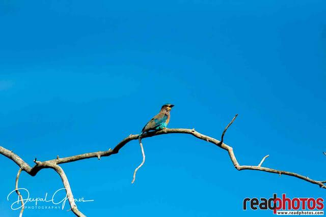 Blue color bird under the blue sky, Sri Lanka
