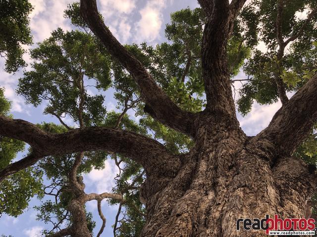 A Massive tree in Sri Lanka
