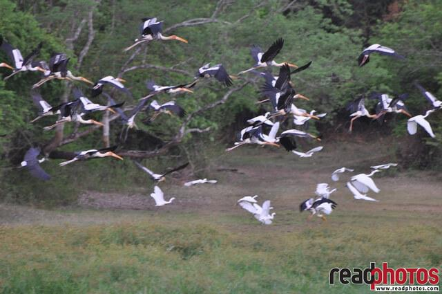Flock of cranes, Sri Lanka - Read Photos