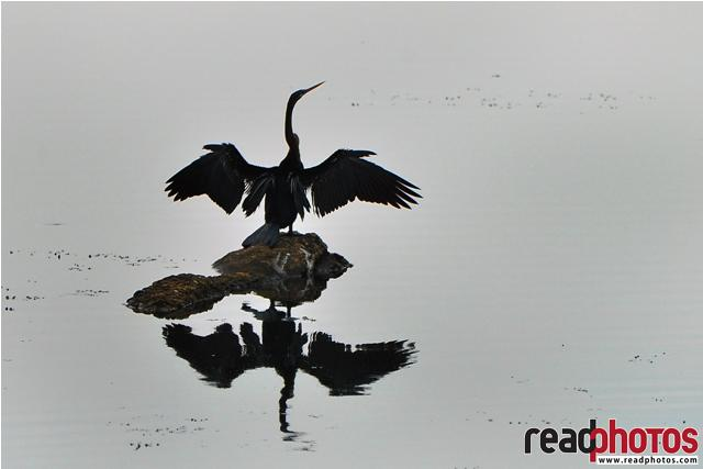 Reflection, Sri Lankan bird
