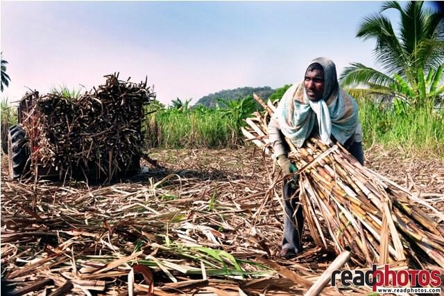 Man working in a sugar cane farm, Sri Lanka