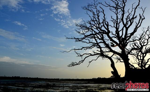 Huge leafless tree, clouds, Sri Lanka - Read Photos