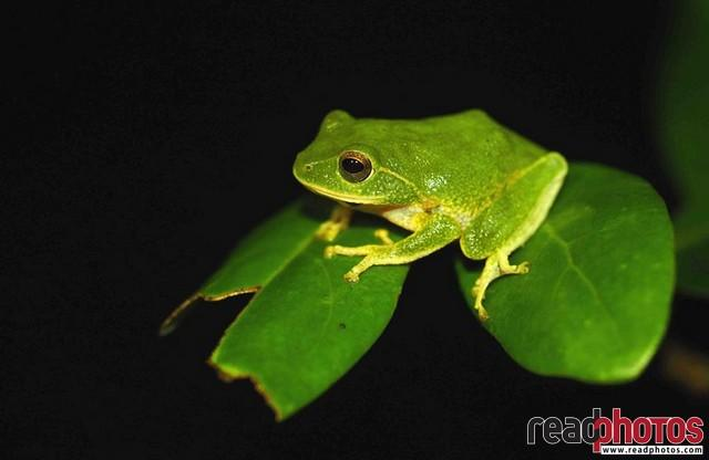 Green frog, Sri Lanka - Read Photos
