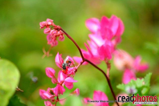 Bee and a flower, Sri Lanka - Read Photos