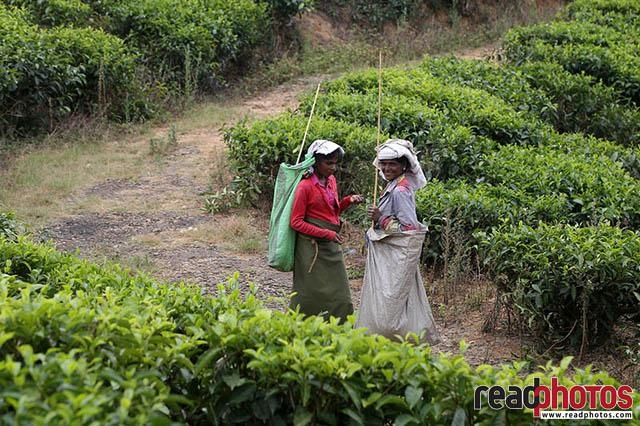 Upcountry tea pluckers Sri Lanka 11