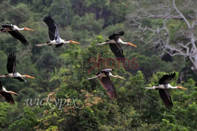 Flying cranes, Sri Lanka