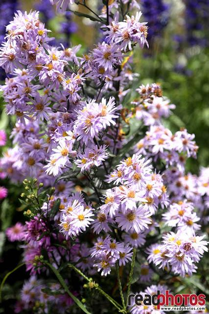 Aster flowers, Sri Lanka - Read Photos