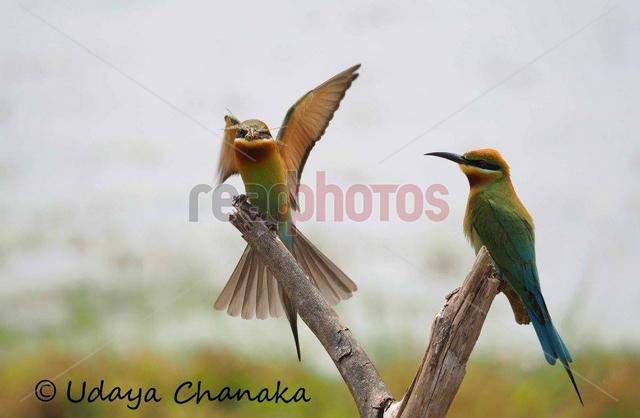 Bird couple, Sri Lanka
