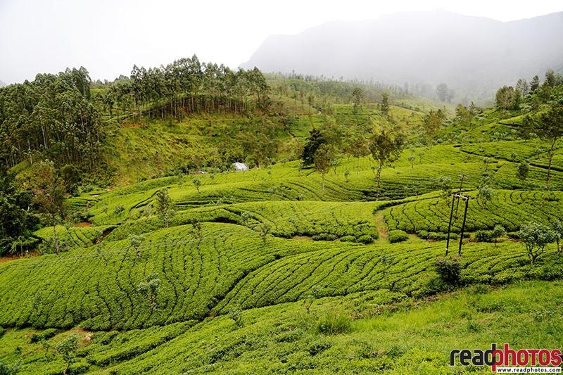 Tea Estates - Read Photos