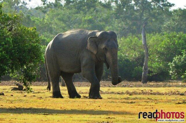Lonely wild elephant, Sri Lanka