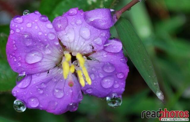Wet flower, in the morning, Sri Lanka - Read Photos