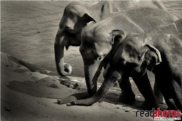 Elephant family black and white, Sri Lanka - Read Photos