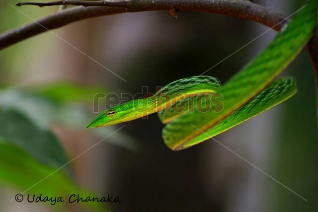 Green snake, Sri Lanka