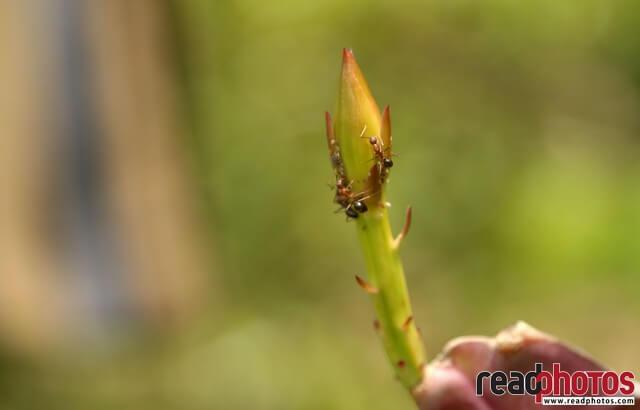Ants on a bloom, - Read Photos