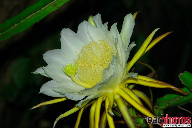 Moonlight cactus, Sri Lanka - Read Photos