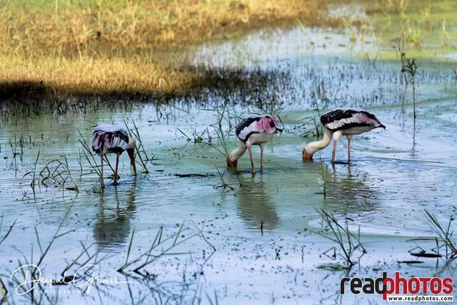 Migrated Birds, Cranes, Sri Lanka