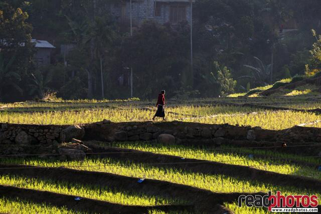 Nuwara Eliya Paddy fields, Sri Lanka