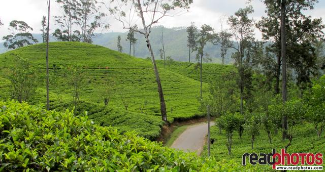 Ella tea estate, Sri Lanka