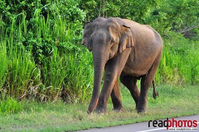 Wild Elephant staring, Sri Lanka - Read Photos