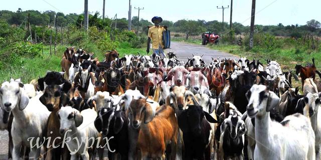Herd of goats, Sri Lanka - Read Photos