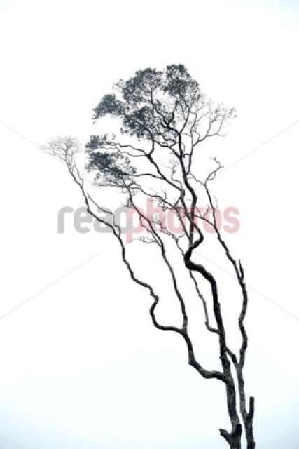 Bare tree in the mist, Sri Lanka