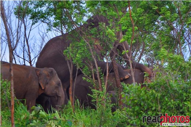 Wild elephant family, Sri Lanka