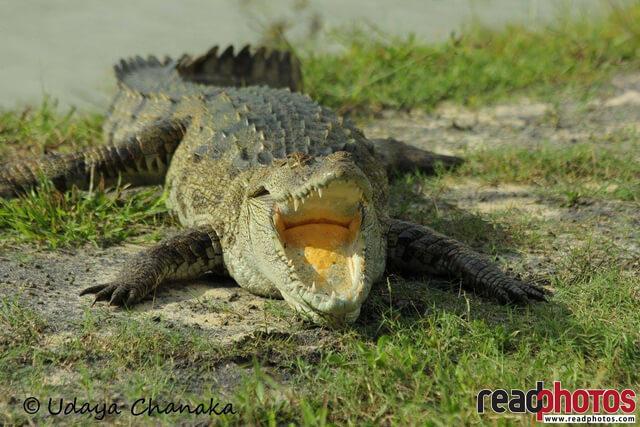 Crocodile sunbasking, Sri Lanka