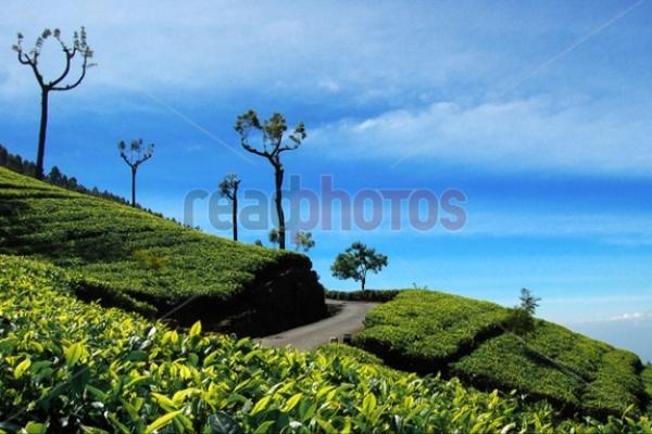 Tea estate, Sri Lanka