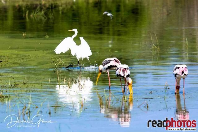 Migrated Birds, Cranes, Sri Lanka 2 - Read Photos