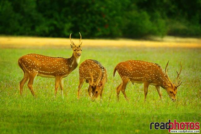 White dotted deer, Sri Lanka - Read Photos