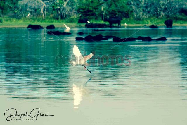 Crane taking off, Sri Lanka - Read Photos