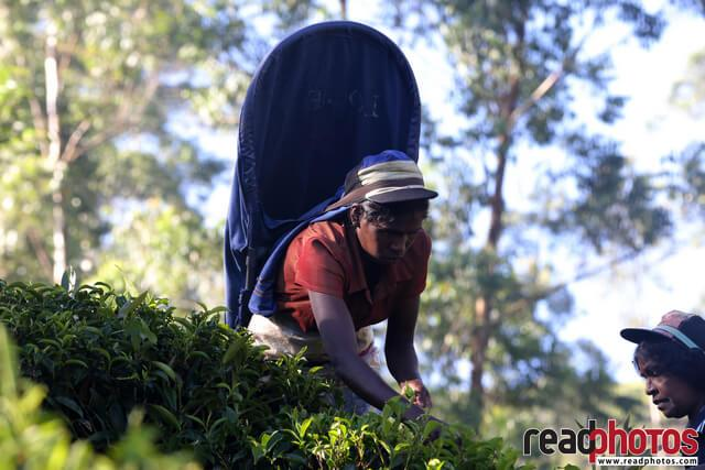 Tea pluckers, Up country Sri Lanka