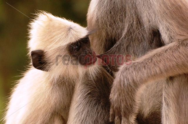 Monkey family, Sri Lanka