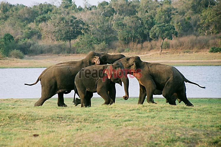 Wild Elephants - Read Photos
