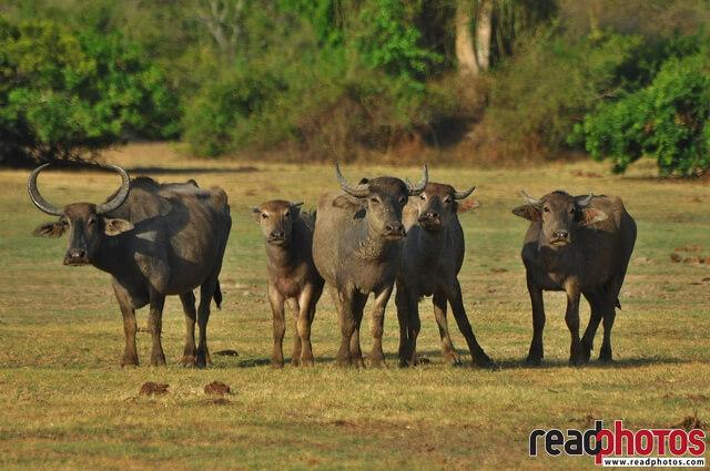 Wild buffaloes, Sri Lanka - Read Photos