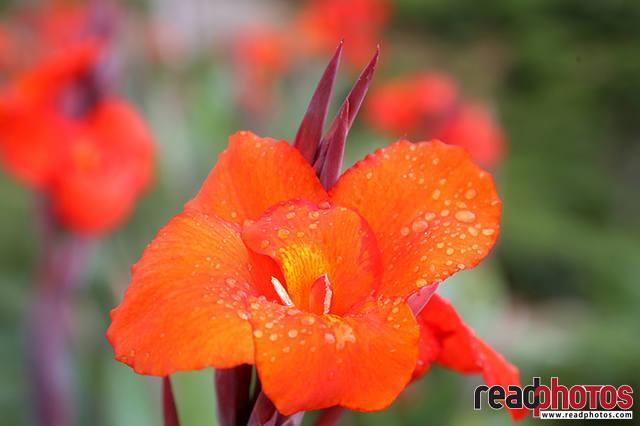 Flowers, Thalawakale, Sri Lanka (5) - Read Photos