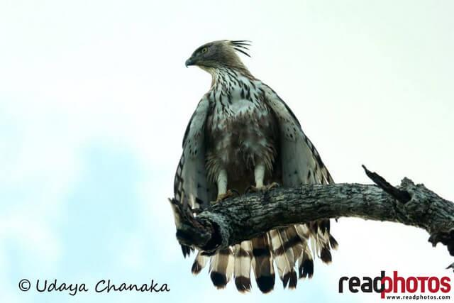Lonely eagle in Sri Lanka  - Read Photos