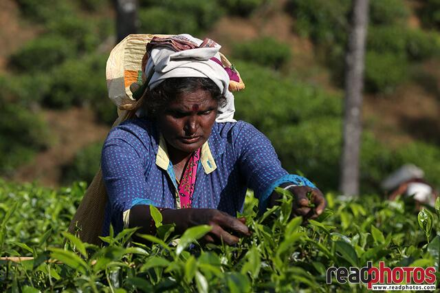 Tea plucking lady, Nuwara Eliya, Sri Lanka