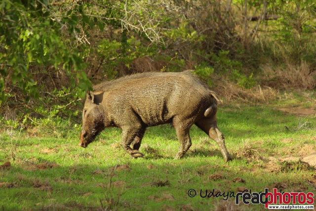 Wild boar, Sri Lanka - Read Photos