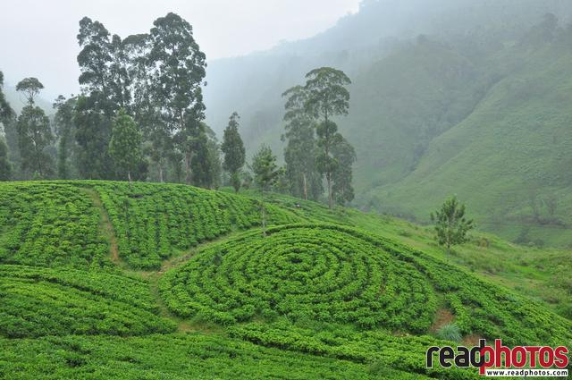 Tea plantation, upcountry, Sri Lanka,