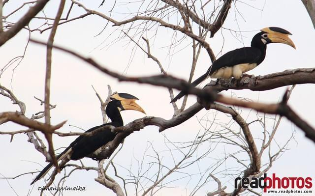 Hornbil birds, Sri Lanka - Read Photos