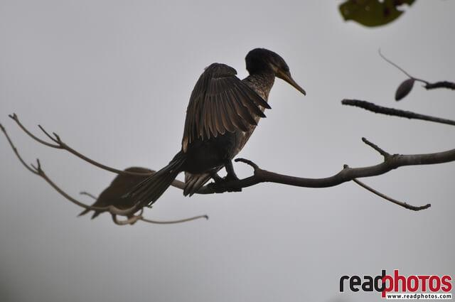 Cormorant, Sri Lanka - Read Photos