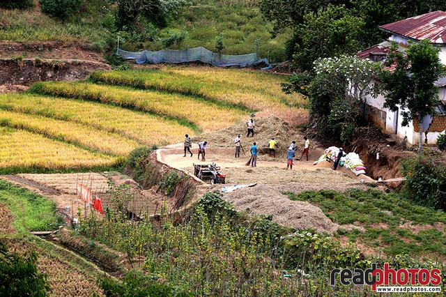 Rice harvesting, Sri Lanka - Read Photos
