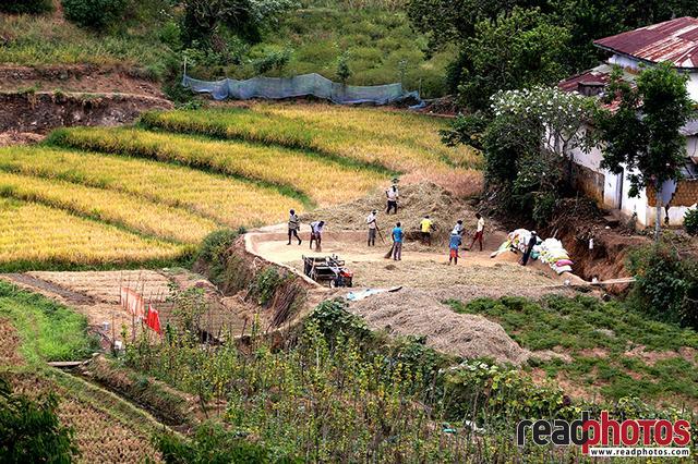 Rice harvesting, Sri Lanka