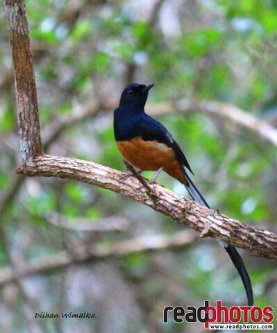 Vanishing bird, Sri Lanka - Read Photos