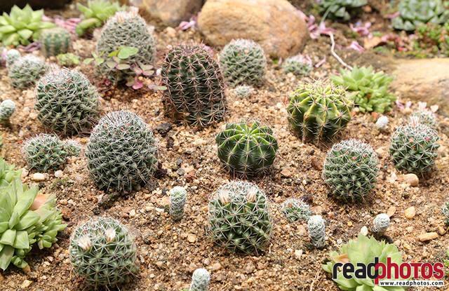 Cactus, Thalawakale, Sri Lanka