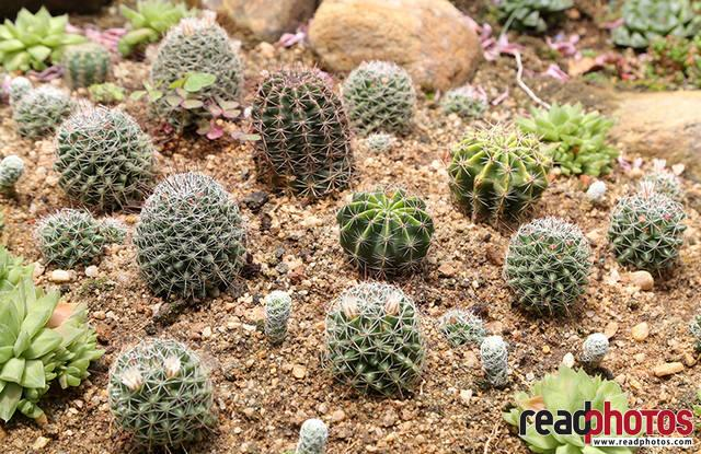 Cactus, Thalawakale, Sri Lanka - Read Photos