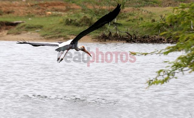 Crane landing to a lake, Sri Lanka