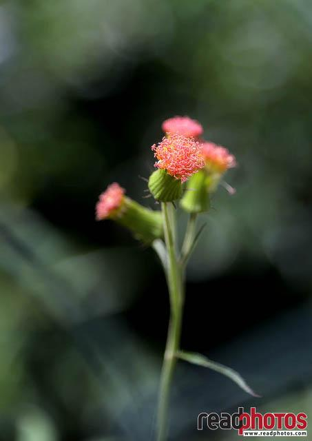 Lantana flowers, Sri Lanka - Read Photos